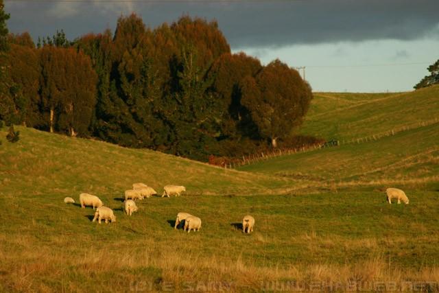 New Zealand Sheep
